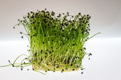 How to cultivate watercress at home