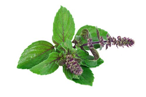 Holy basil: This Ayurvedic medicine for skin diseases is also a potent anti-cancer agent