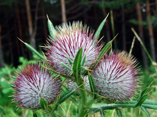 Milk thistle is not only good for your liver - it can protect you from the toxic effects of chemotherapy, too