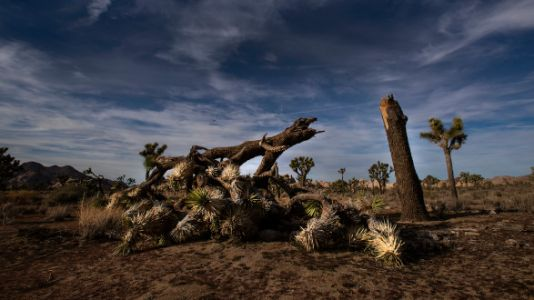 Vandals Used The Government Shutdown To Cut Down Protected Joshua Trees