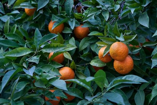 Patients with chronic myeloid leukemia can manage their anxiety with bitter orange essential oil