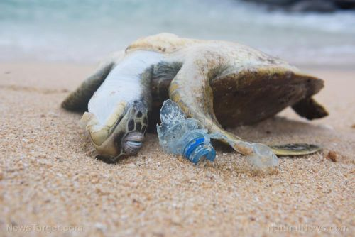 Plastic pollution threatening the health of baby sea turtles