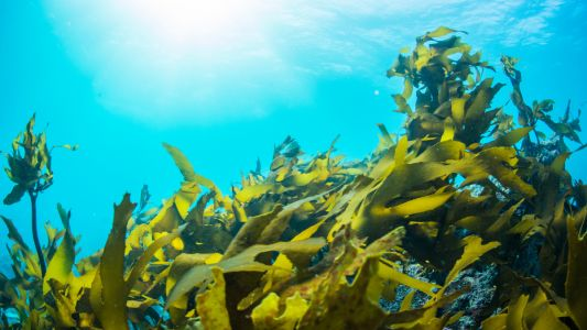 Hypertension-stemming seaweed: Indian institute seeks industry backing to commercialise new nutraceutical