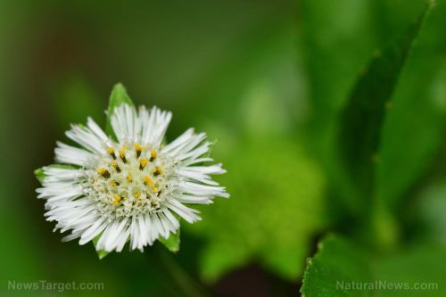 Daisies found to protect the brain against neurotoxicity caused by MSG