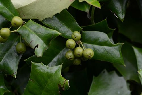 Good for the heart: A look at Chinese holly