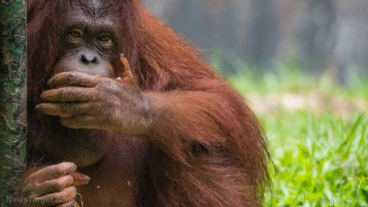 Orangutans discovered to be herbal medicine geniuses who manufacture their own healing ointments using forest plants