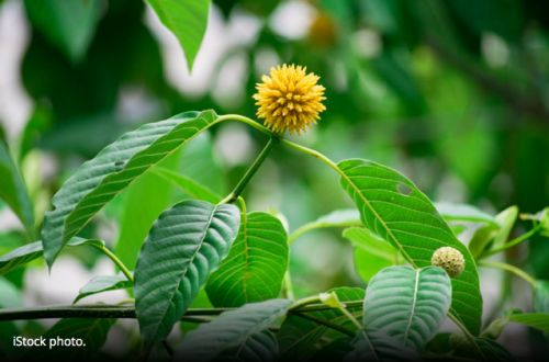Warning letter on tainted kratom illustrates complicated regulatory picture for botanical