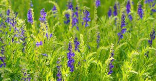 Flowering Herb for Life: 4 Health Benefits of Chinese Skullcap