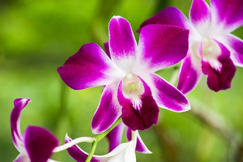 Animal study finds that Dendrobium orchids can help regulate immunity