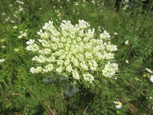 Distinctly pretty and delicate, the wild carrot may be a natural treatment for cancer