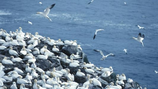 Ocean pollution has covered the globe: Seabirds as far away as Alaska are being threatened by microplastics