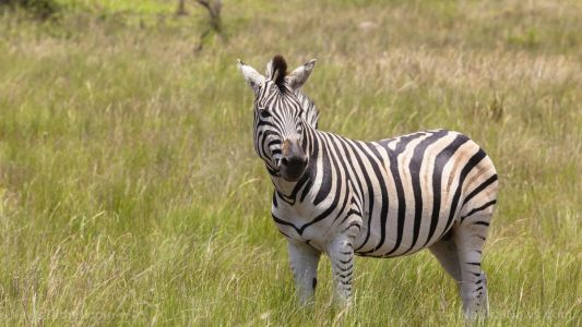 Stripes make terrible landing strips: Flies bite zebras less because the contrast causes optical disruption, says a study