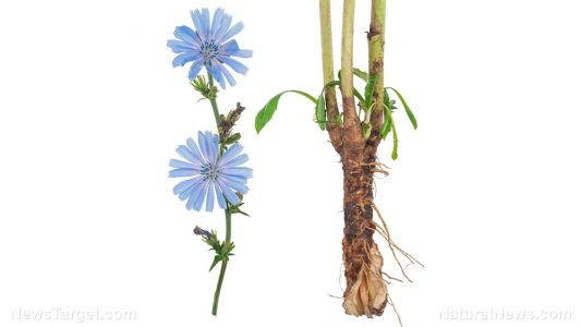 Chicory can protect the liver from drug-induced damage