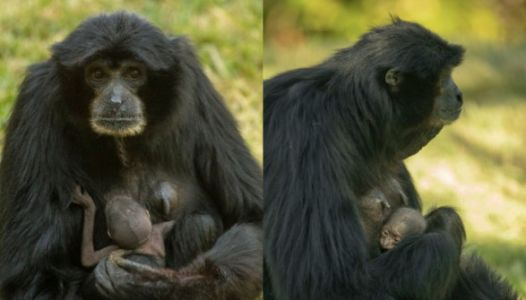 This Ape Had A 'Surprise' Baby While On Birth Control And It's Relatable AF