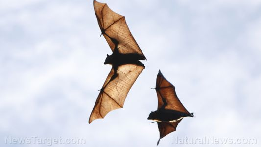 Researcher suggests using bats to help people living in arid places find water sources