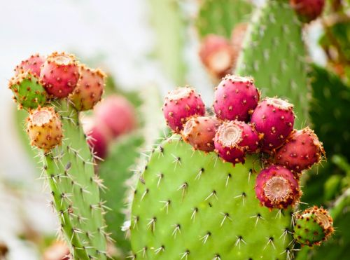 Product based on prickly pear extract takes aim at jet lag