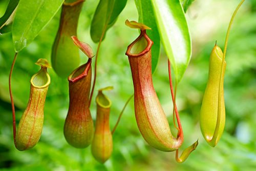 Carnivorous pitcher plants have an occasional taste for vertebrates, study finds