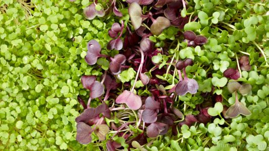 Alfalfa as human food: A rich source of nutrients, it is consumed as a tea, herb, supplement and now as flour