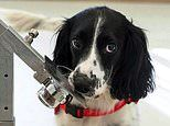 Sniffer dogs could become a new ally in the coronavirus war by identifying infected people
