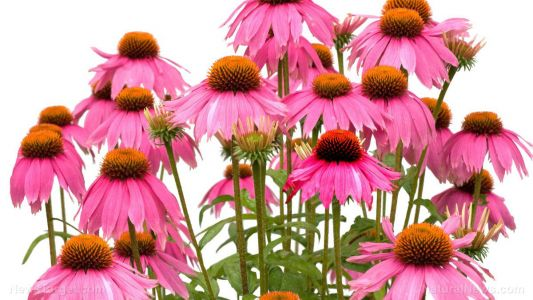 Echinacea offers herbal relief for multiple sclerosis symptoms