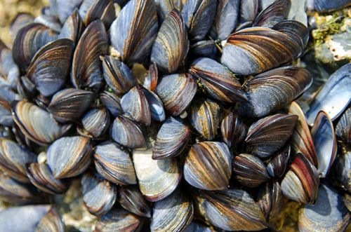Study reveals how mussels deal with microplastic pollution