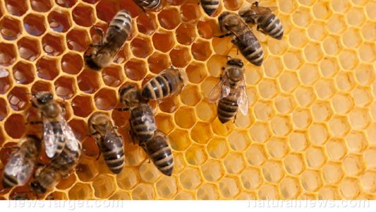Bee propolis found to be effective at slowing the spread of colon cancer, study finds