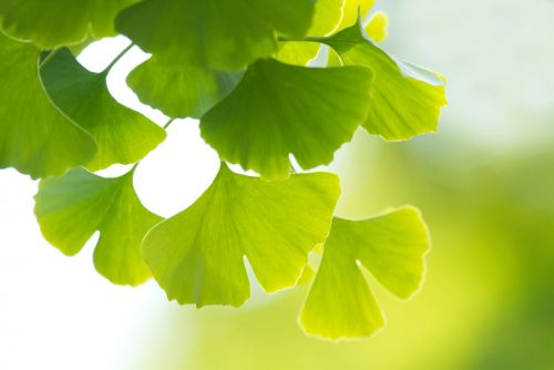 Ginkgo adulteration has become 'rather sophisticated,' says herbal expert