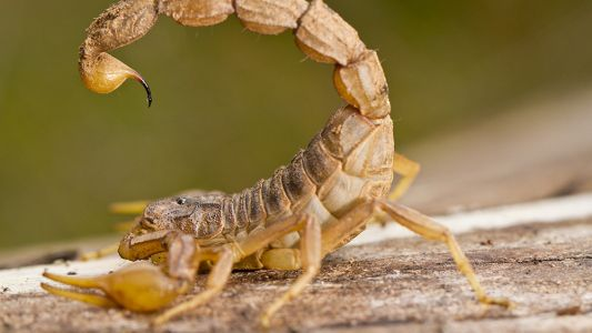 """From poison to cure: Researchers synthesize scorpion venom compounds to fight """"highly infectious bacteria"""""""