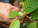 Miracle treatment or dangerous drug? Indonesian growers cash in on Kratom as it takes hold in the US