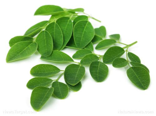 Learn how moringa, just like hemp, is a miracle healing plant - Watch at Brighteon.com