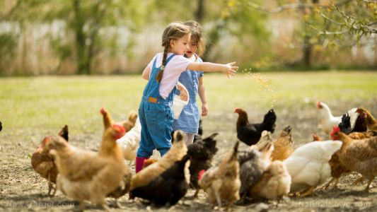 10 Reasons preppers need chickens in their homestead