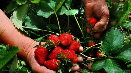 Organically grown strawberries improve gut health, make you less likely to have diarrhea