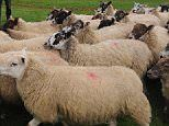 Scientists create first human-sheep hybrids