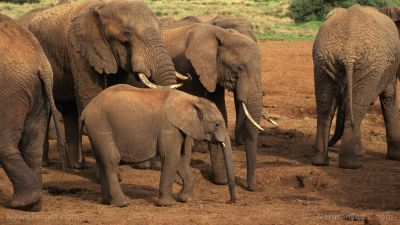 These elephants just saved a baby calf from drowning, demonstrating planning, intelligence and compassion