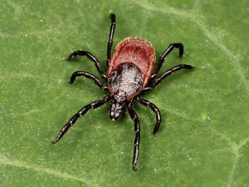 More than half of Lyme disease survivors experience severe, persistent symptoms, even after being clinically cleared of infection