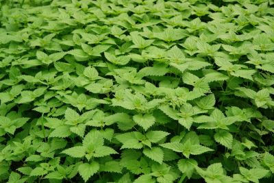 This often overlooked weed is ideal for delicious soup or tea