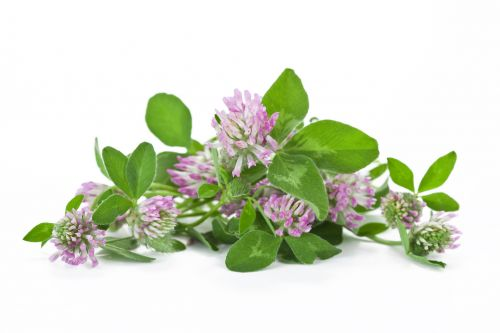 Fermented red clover extract could reduce menopausal muscle loss