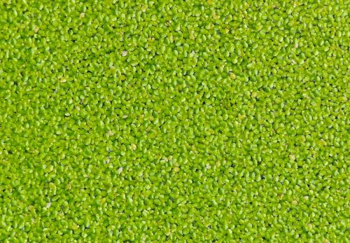 Duckweed grower hails 'potentially game changing' B12 discovery