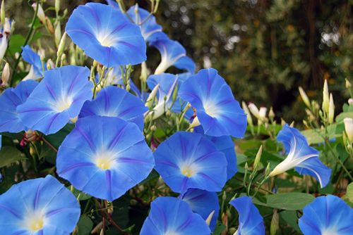 "Dwarf morning glory is the best herb for making an Ayurvedic ""brain tonic"" - study"