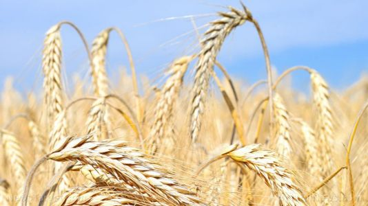 Scientists say barley is a promising laxative and functional food against constipation