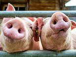 Patients are one step closer to receiving lab-grown organs thanks to the help of PIGLETS