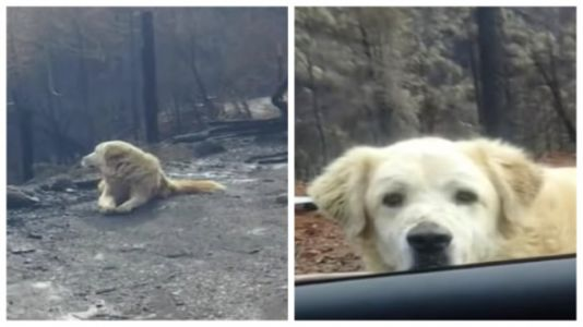 This Dog Waited For His Human For Weeks After Wildfire Destroyed Their Home
