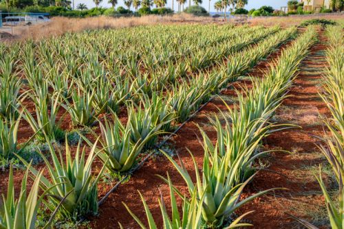 BAPP document lays out common adulterants, best test methods for aloe