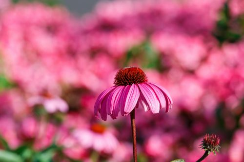 When stress depresses the immune system, Echinacea can help, study suggests