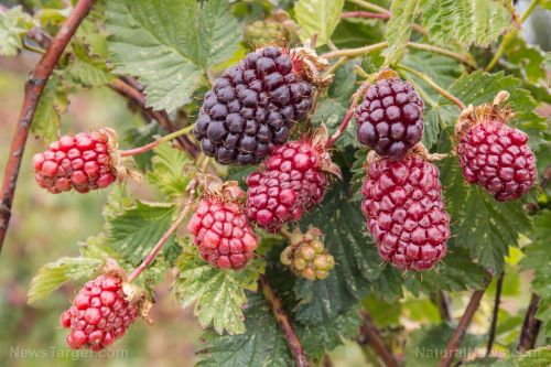 Japanese study concludes that boysenberries help maintain vascular stability