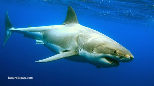 Shark and camel blood contain antibodies that could be used to treat brain diseases