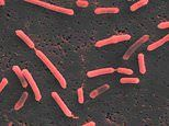 Pill containing gut bacteria 'could help fight incurable Alzheimer's, Parkinson's and cancer'