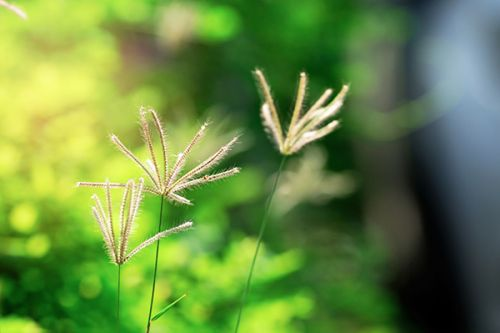 Indian goosegrass can protect against drug-induced kidney damage