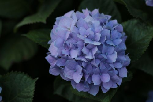 Hydrangea leaf extract may boost skin health from within: RCT