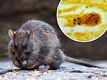 New York City is struck by an outbreak of a rare disease caused by bacteria found in RAT URINE